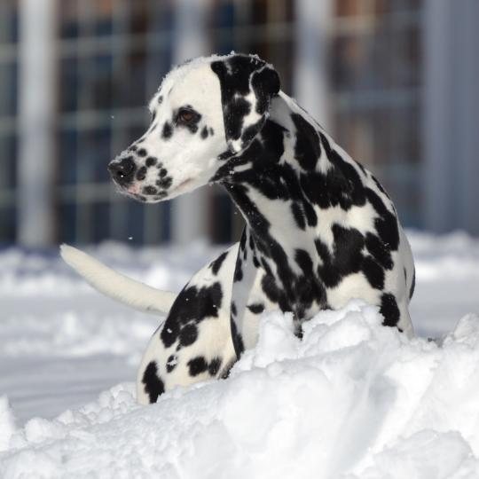 Bellwether Dalmatians