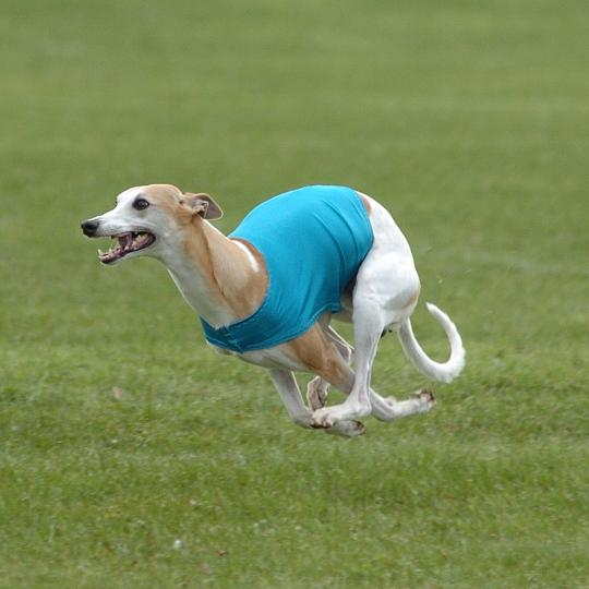 Casino running at a lure coursing trial